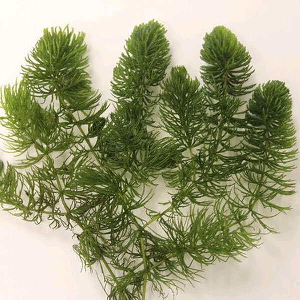 Buy hornwort ceratophyllum demersum for Oxygenating plants for a small pond