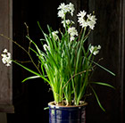Paperwhites & ceramic pot