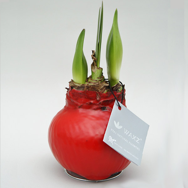 no water living amaryllis