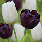 Chequers tulip collection