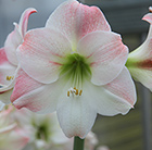 Hippeastrum Apple Blossom