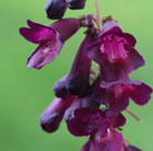 Penstemon Raven