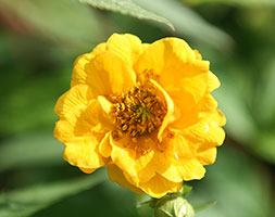 Click to view product details and reviews for Geum Aposlady Strathedenapos Avens.