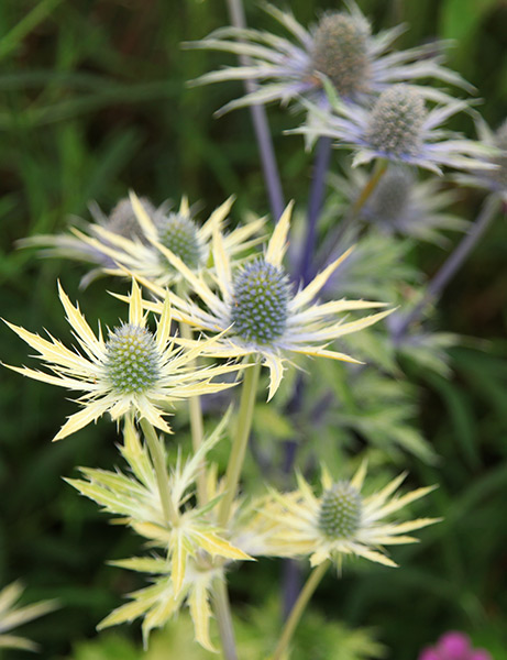 golden-leaved sea holly
