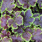 × Heucherella Solar Eclipse
