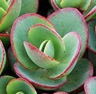 Sedum Lime Zinger (SunSparkler Series) (PBR)