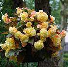 Begonia Sunset Yellow Champagne