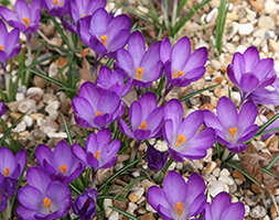 Click to view product details and reviews for Crocus Aposruby Giantapos Natural Organic Bulbs.