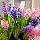 Harlequin hyacinth collection