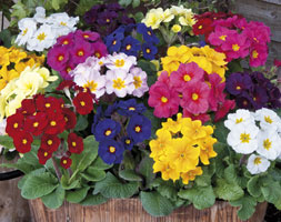 Image of Polyanthus Stella Mixed (40 plus 20 FREE large plug plants)