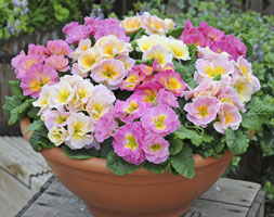 Image of Primrose Sweetheart (40 plus 20 FREE large plug plants)