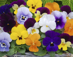 Image of Viola Sorbet F1 Mixed (40 plus 20 FREE large plug plants)