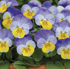 Viola Sorbet Yellow Frost