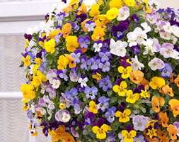Image of Viola Teardrops Mixed (40 plus 20 FREE large plug plants)