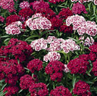 Sweet William Indian Carpet