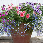 Hanging basket bedding plant collection