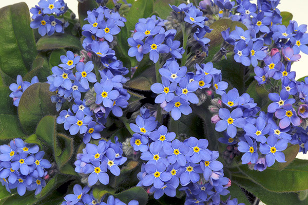 40 plus 20 FREE large plug plants Forget Me Not