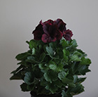 Pelargonium Don Francco (PBR)