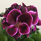 Pelargonium Don Valentino (PBR)