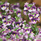 Nemesia Berries and Cream ('Fleurbac') (PBR)