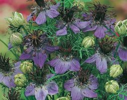 Image of Nigella hispanica (40 plus 20 FREE large plug plants)