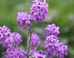 Image of Hesperis matronalis (40 plus 20 FREE large plug plants)