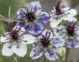 Image of Nigella papillosa 'Delft Blue' (40 plus 20 FREE large plug plants)