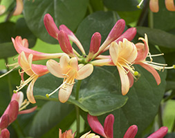 Click to view product details and reviews for Lonicera Aposcelestialapos Pbr Honeysuckle.