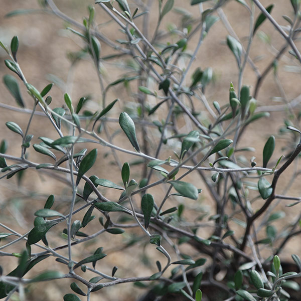 Buy wire netting bush corokia virgata