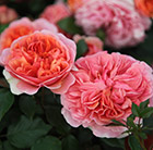 Rosa Duchess of Cornwall ('Tan97157')