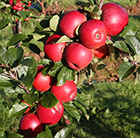 apple Red Windsor