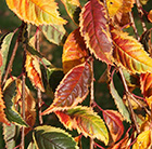 Prunus Frilly Frock ('Fpmpl')