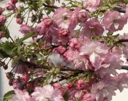 Prunus 'Little Pink Perfection' (dwarf Japanese flowering cherry)