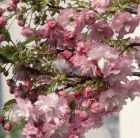 Prunus Little Pink Perfection