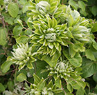 Clematis Green Passion ('Zo11050') (PBR)