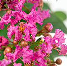 Lagerstroemia indica Berry Dazzle ('Gamad VI') (PBR)