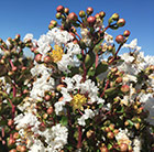 Lagerstroemia indica With Love Virgin ('Milabla') (PBR)
