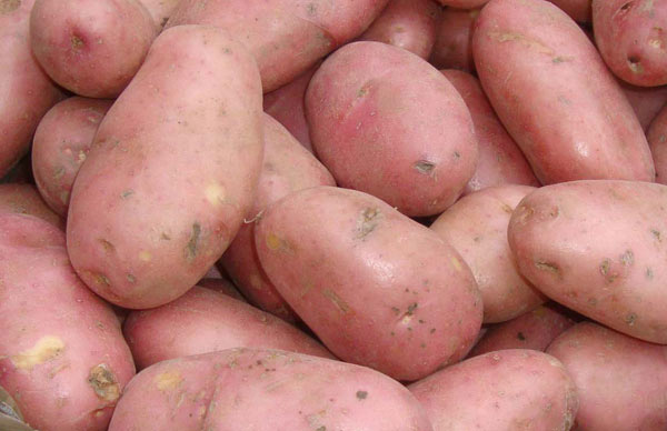 potato - maincrop Scottish basic seed potato