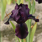 Iris Black Watch