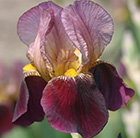 Iris Indian Chief