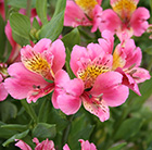 Alstroemeria Uranus (Planet Series)