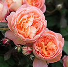 rose Lady Emma Hamilton (shrub)