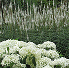 Veronicastrum and Hydrangea plant combination