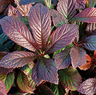 Rodgersia Bronze Peacock