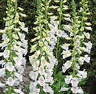 Digitalis purpurea Dalmatian White (Dalmatian Series)