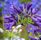 Agapanthus Purple Delight