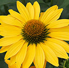 Echinacea Now Cheesier (PBR)