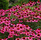 Echinacea Amazing Dream (PBR)