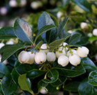 Gaultheria procumbens Gaulthier Pearl ('SpecGP11') (PBR)