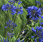 Agapanthus Brilliant Blue ('Aga0451') (PBR)
